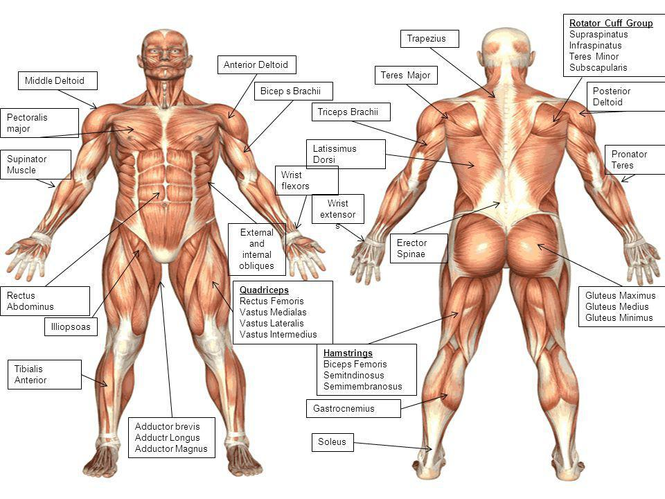 topic 1: anatomy - ib, Muscles